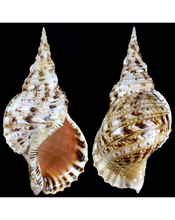 Charonia Tritonis XL