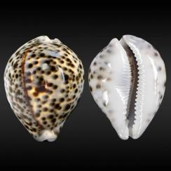 Cypraea Tigris Pardalis (1)