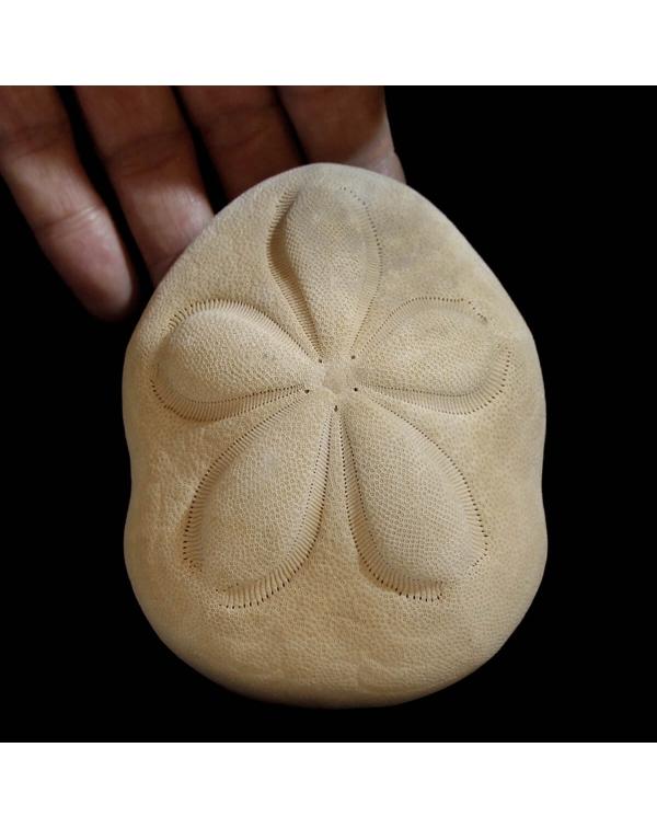 Echinodea Sea Biscuit