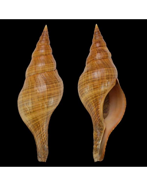 Filifusus Manuelae
