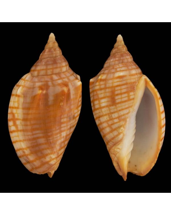 Harpulina Arausiaca f. Vexillum