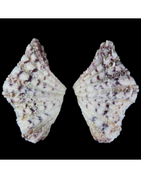 Hippopus  Hippopus