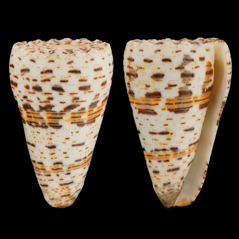 Conus Imperialis Fuscatus