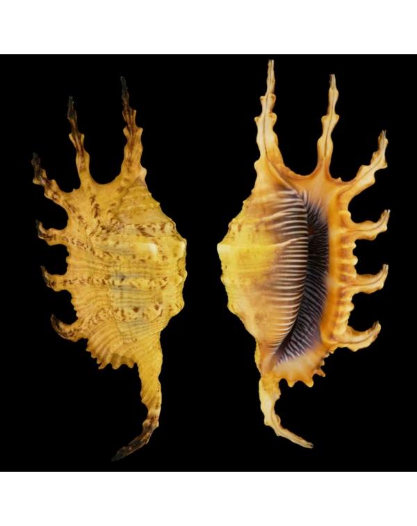 Lambis Scorpius Indomaris