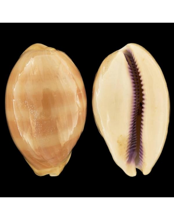 Cypraea (Lyncina) Leviathan