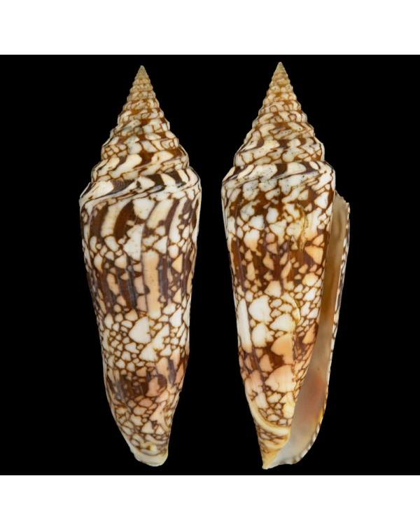 Leptoconus Milneedwardsi Clytospira