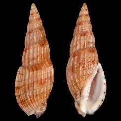 Lyria Solangeae (4)