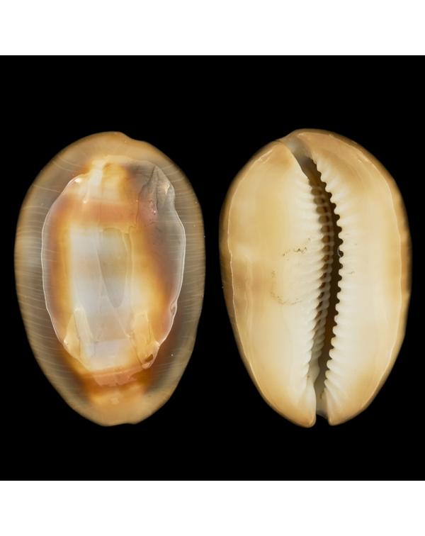 Lyncina Ventriculus