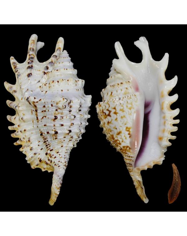Lambis Violacea