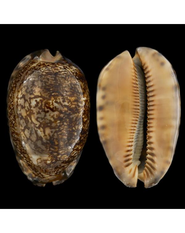 Mauritia Arabica Rudimaculosa