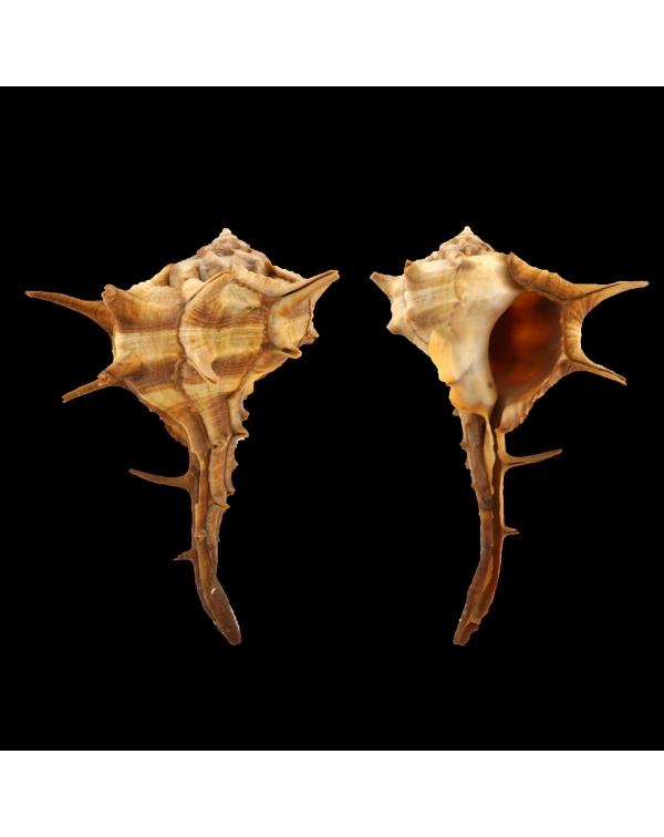 Bolinus Cornutus Cornutus