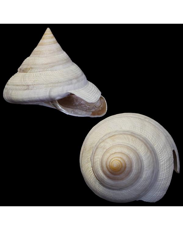 Mikadotrochus Hirasei Albino