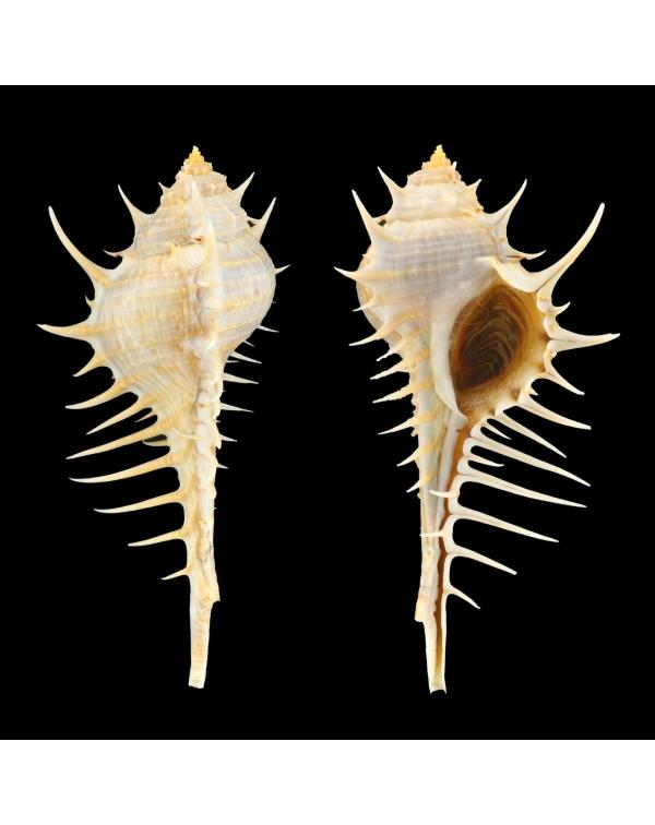 Murex Echinodes