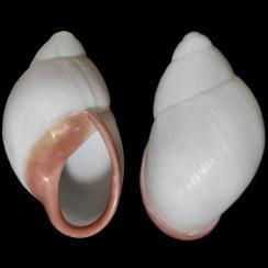 Megalobulimus Oblongus (1)