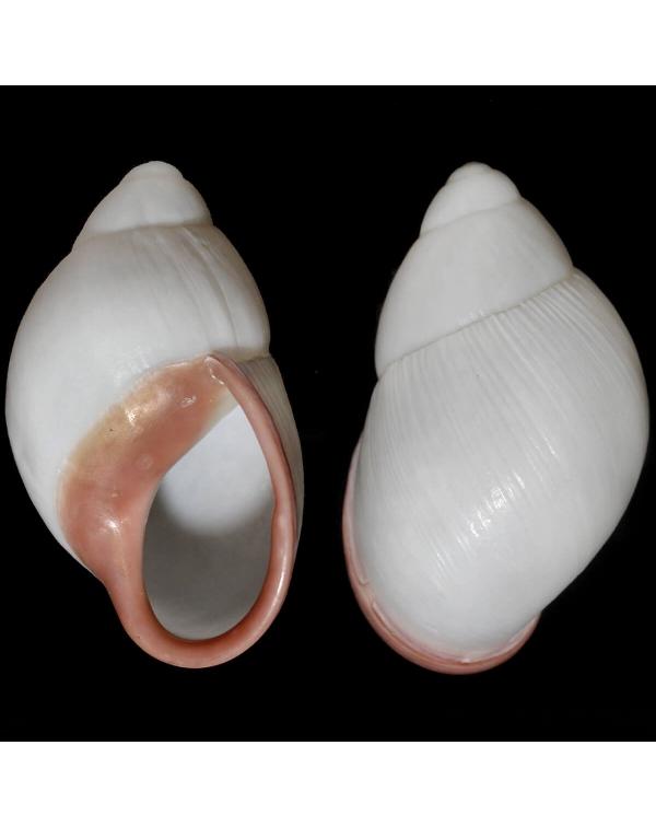 Megalobulimus Oblongus