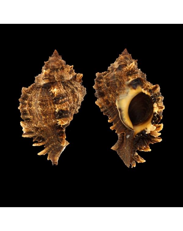 Phyllonotus Pomum