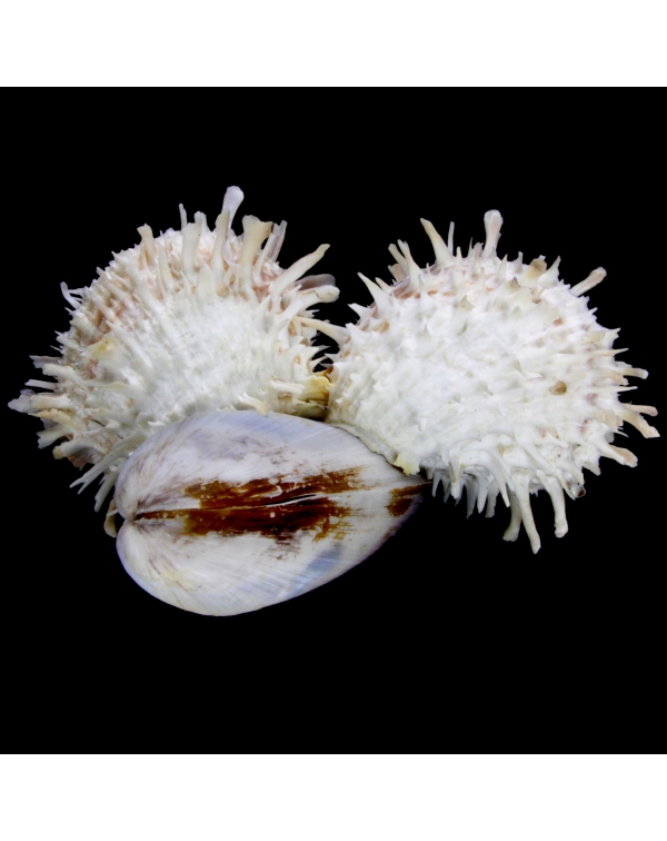 Modiolus Philippinarum and Spondylus Barbatus
