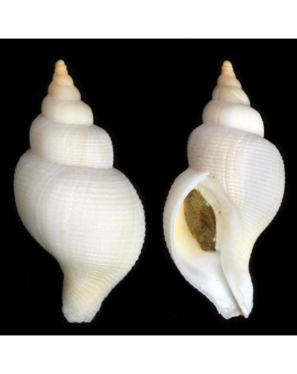 Neptunea Contraria