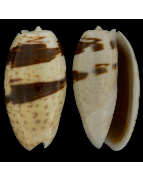 Oliva Bulbosa Bicingulata
