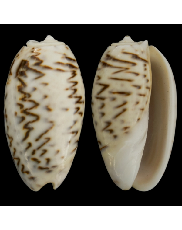 Oliva Bulbosa Lacertina