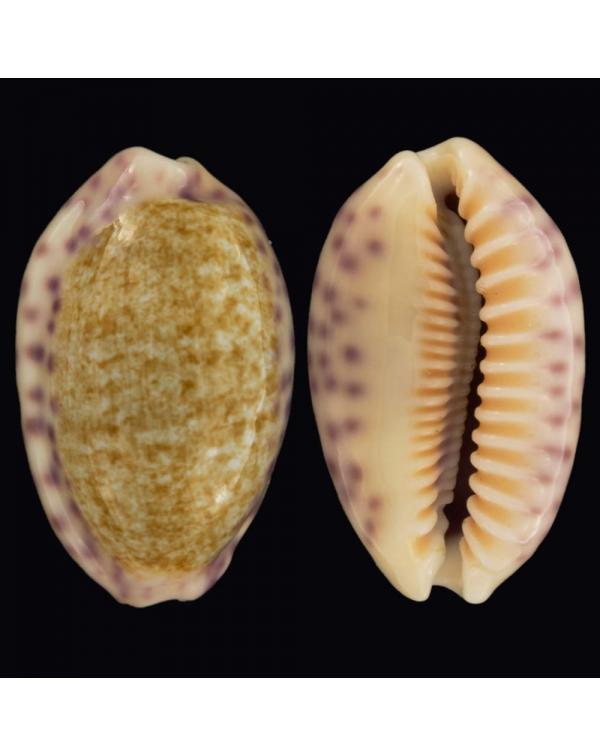 Ovatipsa Chinensis Variolaria