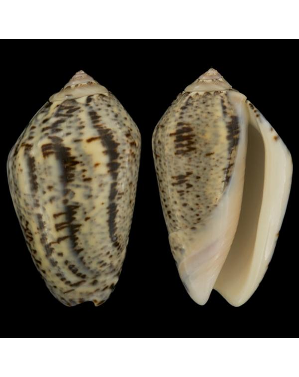 Oliva Incrassata