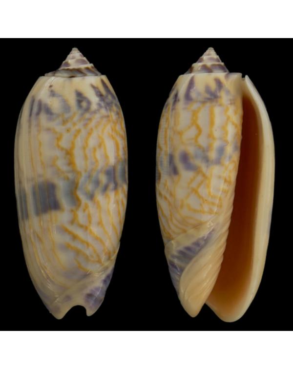 Oliva Lamberti (Miniaceoliva)
