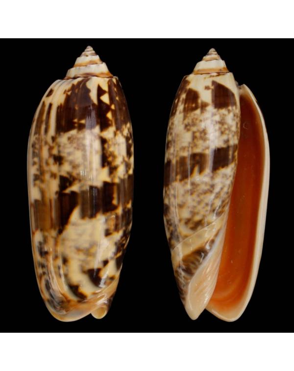 Oliva (Miniaceoliva) Miniacea