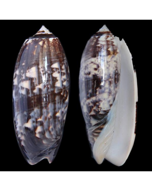 Oliva Tremulina F. Flammeacolor