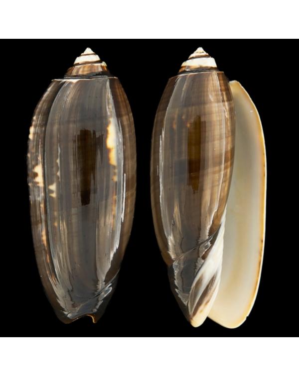 Oliva Tremulina F. Tenebrosa