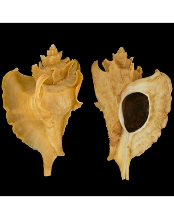 Pteropurpura Adunca Adunca