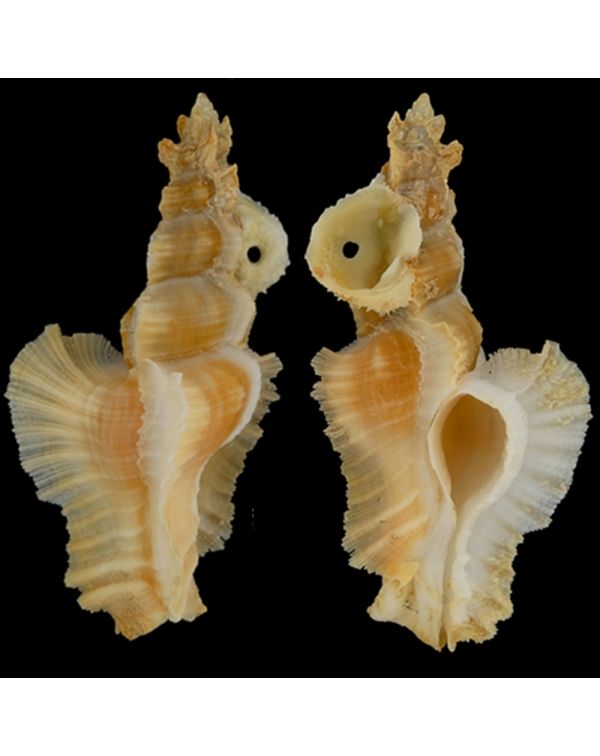 Pterynotus Elongatus
