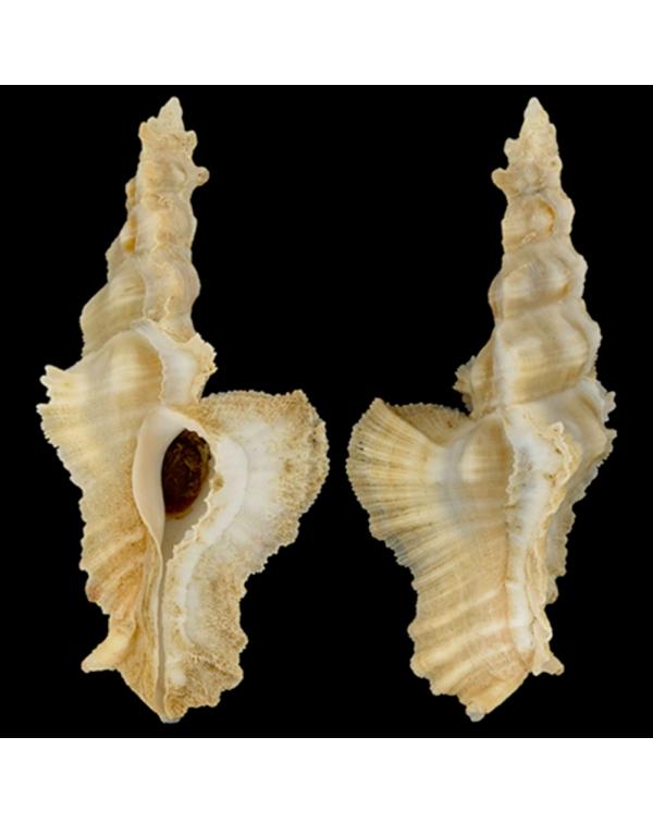 Murex Pterynotus Elongatus