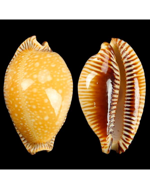 Cypraea Perisserosa