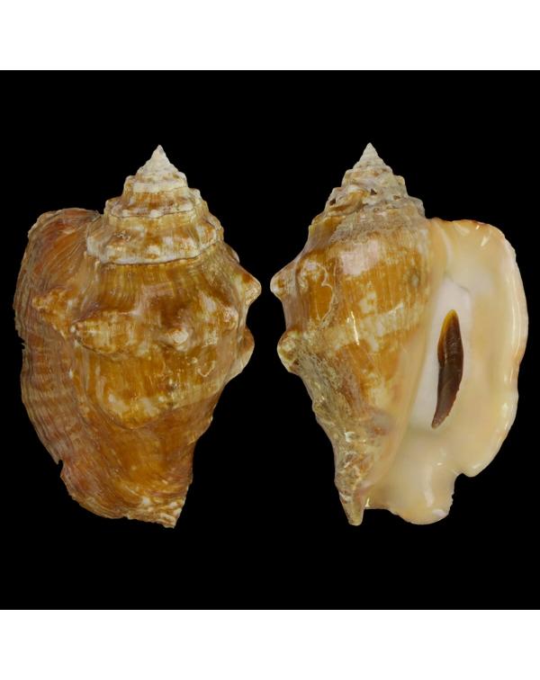 Persististrombus Latus Arenensis
