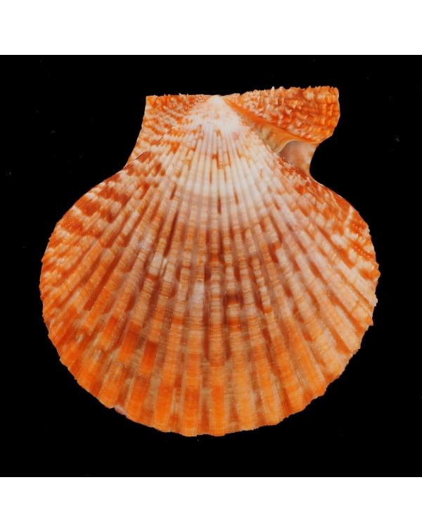 Mimachlamys Gloriosa