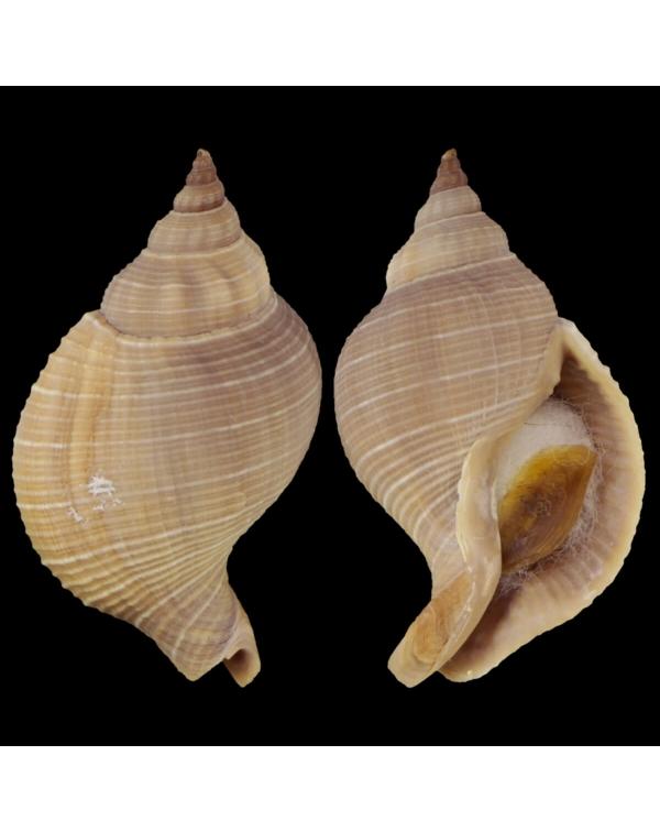 Siphonalia Trochulus
