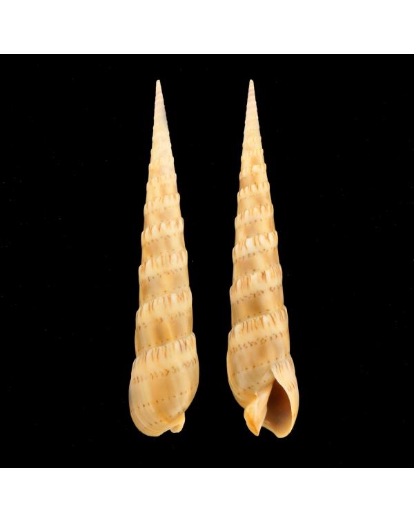 Terebra Oxymeris Crenulata Fimbriata