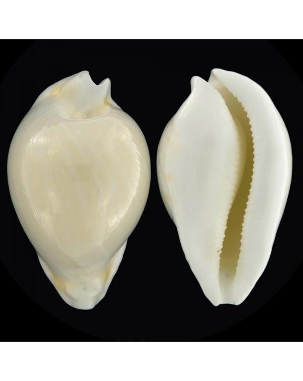 Umbilia Hesitata Hesitata f. Howelli
