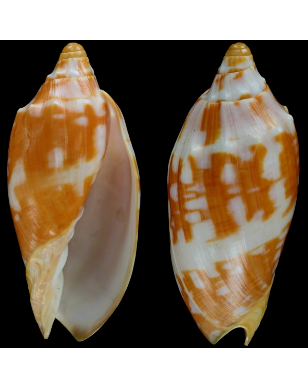 Voluta Aulica Orange