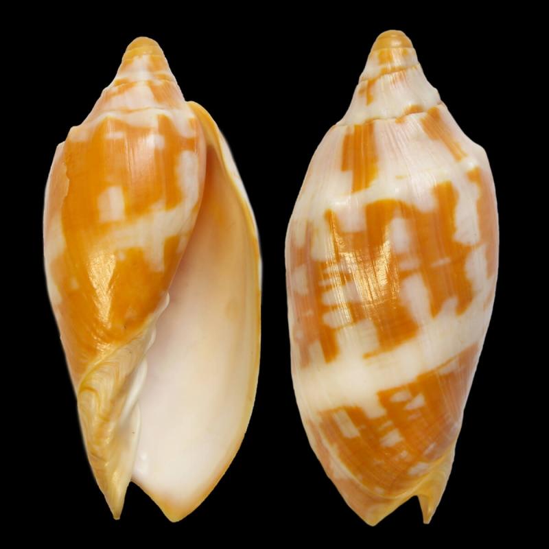Cymbiola Palawanica