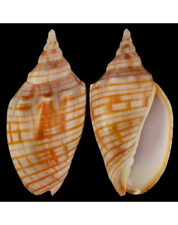 Harpulina Arausiaca