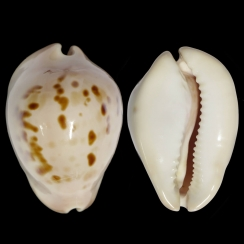 Zoila Venusta Roseopunctata (2)