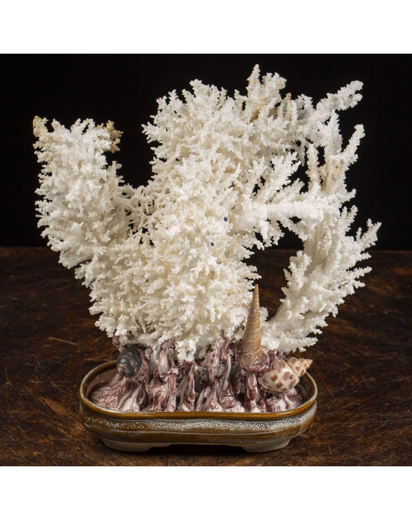 Acropora Florida Bonsai