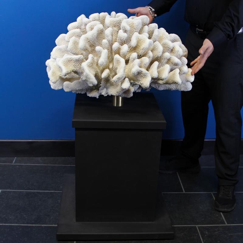 Pocillopora Meandrina Giant on Pedestal