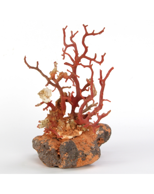 Coral on stone base