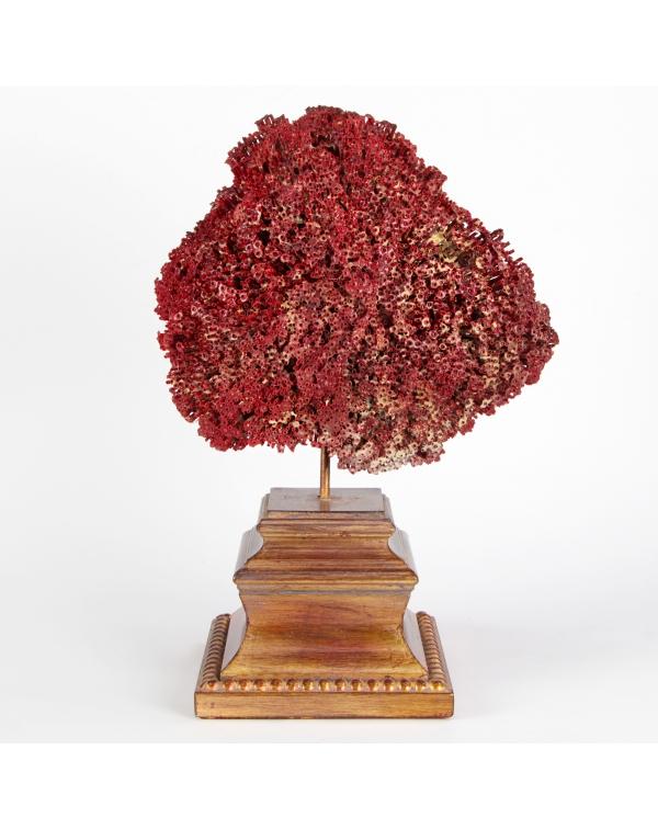 Tubipora Musica Coral