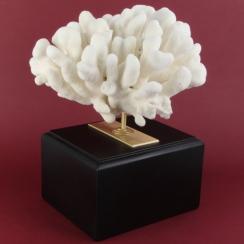 Acropora Palmata (3)