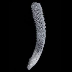 Euplectella (1)