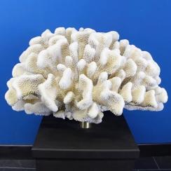 Pocillopora Meandrina (2)